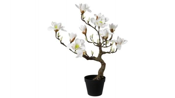 Magnolienbaum Lakie